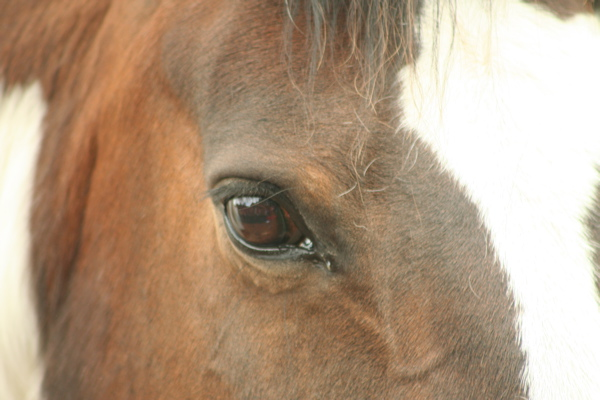Horse's eyes